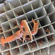 creeled prawns 2