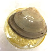 clam_closeup