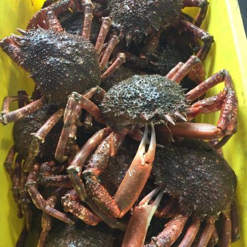 Spider Crab LIVE